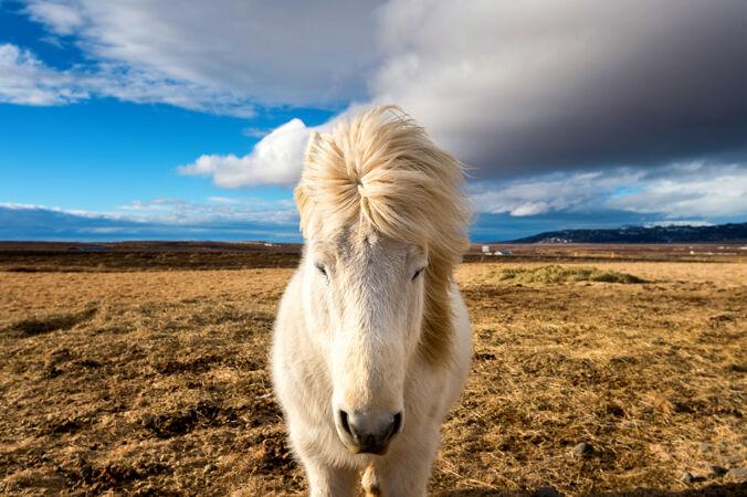 冰岛马白马
